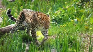 Zoo des Sables - Panthere-Amour-©Zoo-des-Sables-S.Silhol