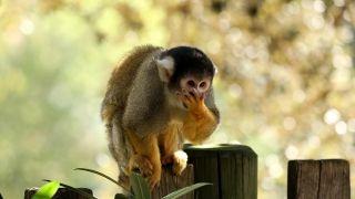 2019-Saimiri-Zoo des Sables d'Olonne--JFBrossier
