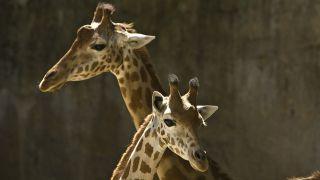 Girafes du Zoo des Sables d'Olonne